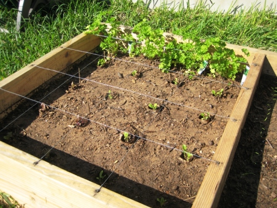 parsley/lettuce bed